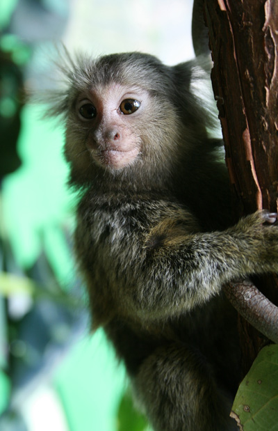 Marmoset (Callithrix jacchus). Picture by Manfred Werner/Tsui