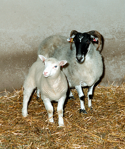 Dolly as a lamb with her Scottish Blackface surrogate mother.